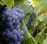 Illustation Grapes